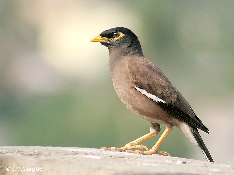 Praying for some Myna magic - Nature Forever Society Blog - photo#11