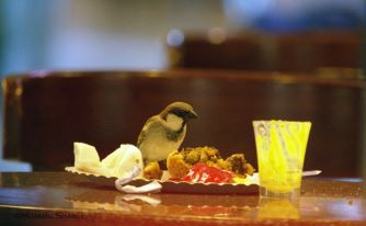 Sparrows feeding on left-overs in Bangalore Airport lounge