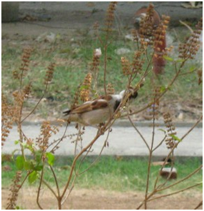 Sparrow eating tulsi seeds from the tulsi plant