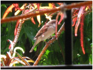 Sparrow sitting on the croutons plant in the rain