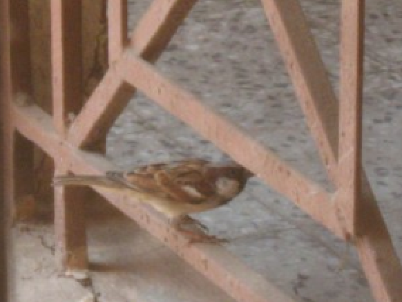 Sparrow in our building