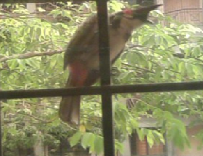 A red whiskered or red cheeked bulbul on our window