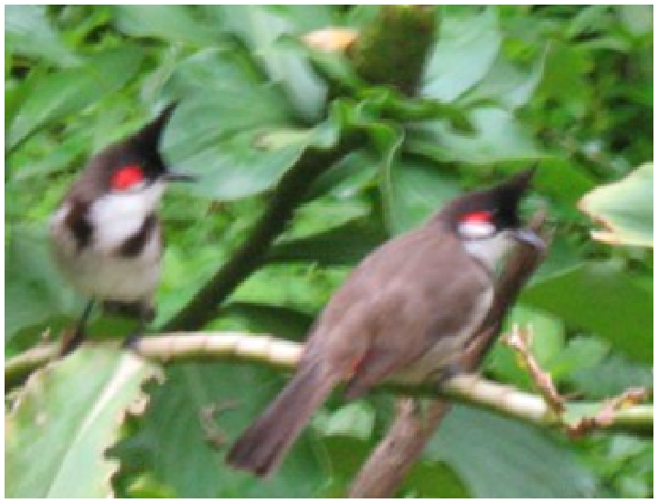 A pair of Bulbuls in our garden