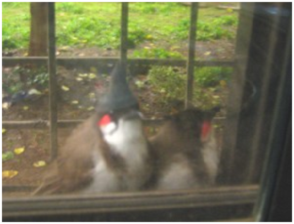 A pair of bulbuls outside our window